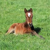 Sacred Falls - The Fascinator (Pentire) colt