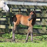 Rock n Pop - Chillypin (Pins) filly