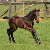 Savabeel - Forty Two Below (O'Reilly) filly