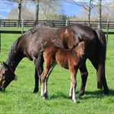 Rock n Pop- Molly Coco (Savabeel) filly