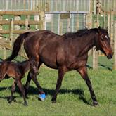Savabeel - Suavito (Thorn Park) colt - a few hours old