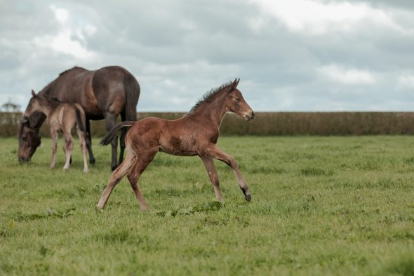 Tivaci – Rosehip filly, born September 11, 2018. Bred by John Frizzell.