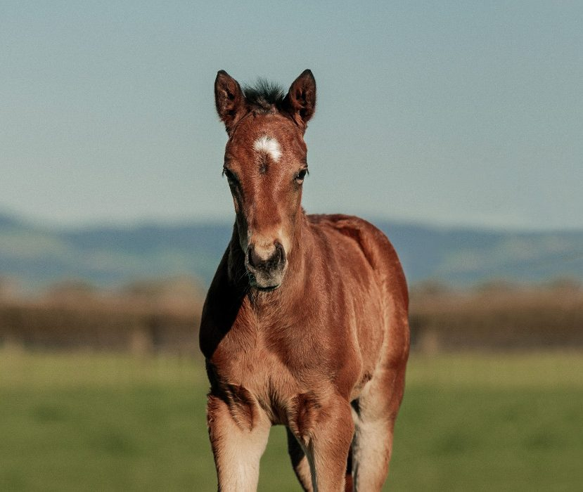 tivaci foal photo competition waikato stud