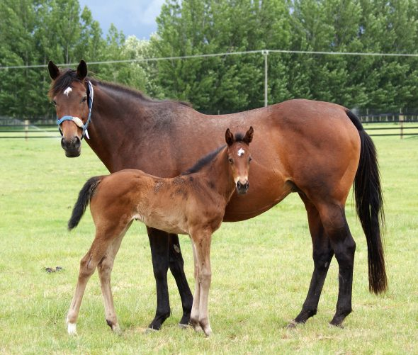 Tivaci - Knocknacrea filly, born October 10, 2018. Bred by Little Avondale Stud.