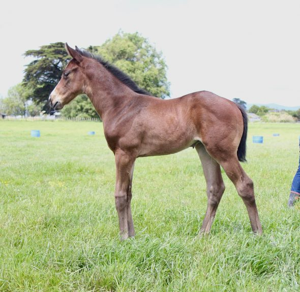 Tivaci – Dubai Belle filly, born November 10, 2018. Bred by Tony & Judith Bambry & Robin Hapi.