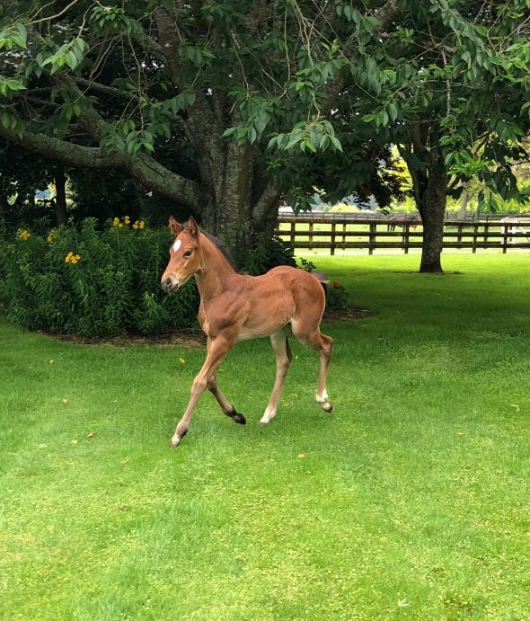 Tivaci – Pica Pica filly, born October 25, 2018. Bred by Wentwood Grange.