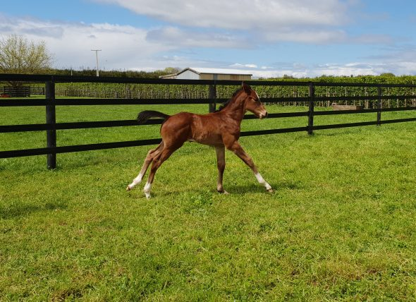 Tivaci -  O'Gio colt, born September 12, 2018. Bred by Carol Marshall.