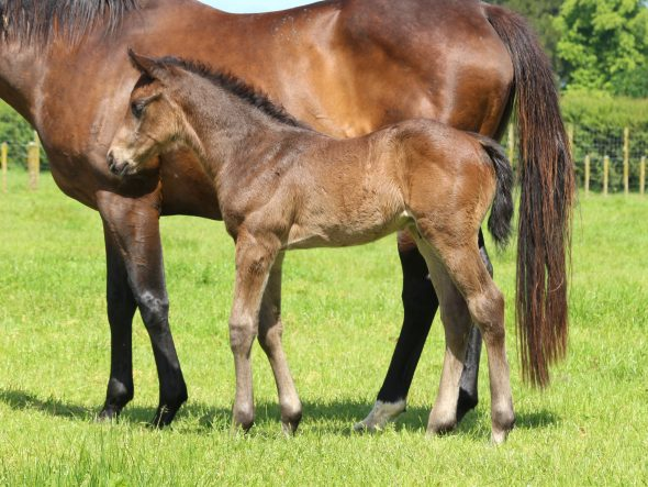 Tivaci - Syrah colt, born October 23, 2018. Bred by Trelawney Stud.