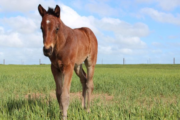 Tivaci – Lady Like colt, born  August 26, 2018. bred by David Toole, Kambula Stud.